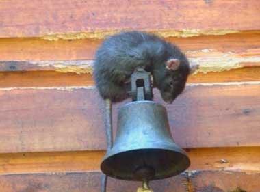 Как защитить каркасный дом от грызунов