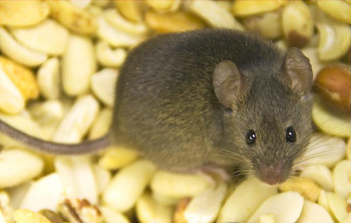 Вред мышей
