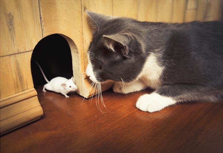 Кошка для отлова мышей