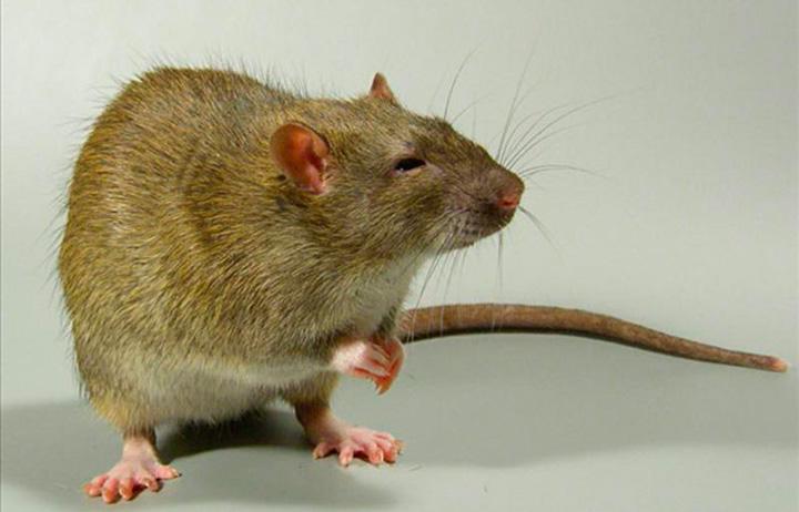 Крыса и вред от нее