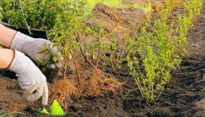 Рассада растения бирючина