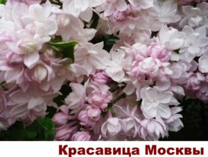 Сорта сирени для изгороди - Красавица Москвы