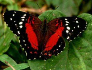 Живая бабочка