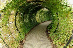 Туннельная беседка под виноградом