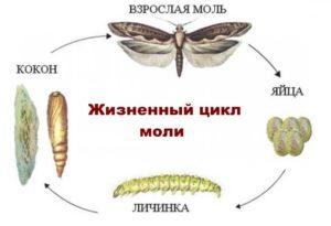Моль от личинки до бабочки
