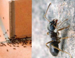 Появление в доме небольших черных или крылатых муравьев является серьезной проблемой