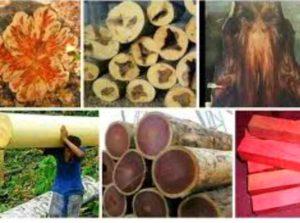 Сосна – это самый распространенный и доступный вариант древесины