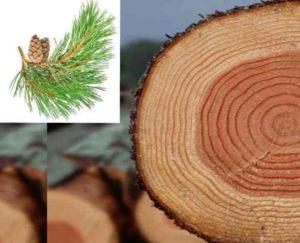 Необычные факты про сосновую древесину
