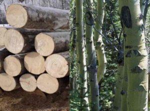 После хранения в срубленном виде осина имеет белую древесину