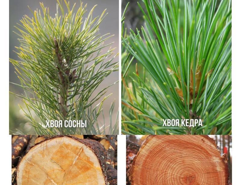 Хвойная древесина – это мягкая порода дерева
