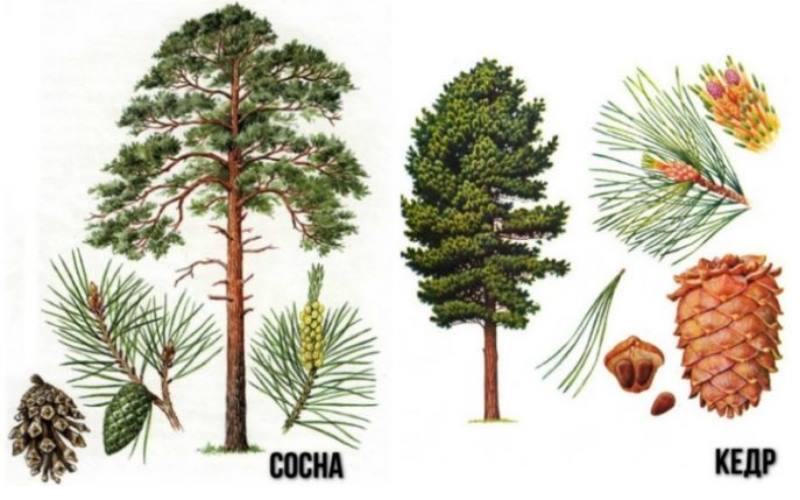 Взрослое кедровое дерево имеет довольно внушительные размеры